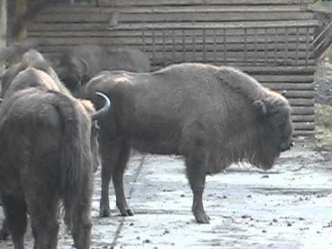 Buffalo Gołuchów near Kalisz in Poland