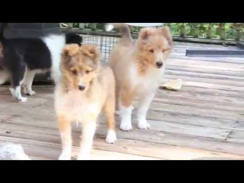 Le King sheltie pups at 12 weeks on 8-7-2014