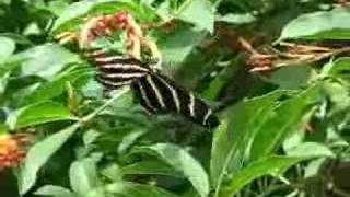 Zebra Longwing Butterfly on Firebush Zebra Longwing Butterfly (Heliconius charitonius) nectaring at a Firebush (Hamelia patens) in the backyard.