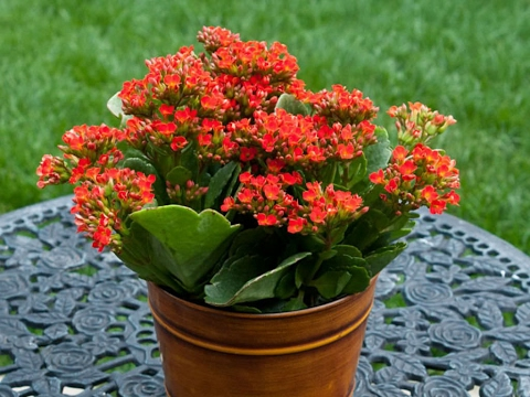 How to Grow Flowering Kalanchoe in hindi / urdu - YouTube Kalanchoe Plant Care Indoors on peace lily plant care indoors, lavender plant care indoors, gardenia plant care indoors, growing plants indoors, croton plant care indoors, rosemary plant care indoors, hyacinth plant care indoors, cyclamen plant care indoors, celosia plant care indoors, aloe vera plant care indoors, hydrangea plant care indoors, azalea plant care indoors, fiddle leaf fig care indoors, jasmine plant care indoors, calla lily plant care indoors, calathea plant care indoors, ivy plant care indoors, cool plants to grow indoors, begonia plant care indoors, yucca plant care indoors,
