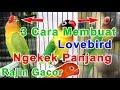 Cara Membuat Lovebird Ngekek Panjang Dan Rajin  Mp3 - Mp4 Download