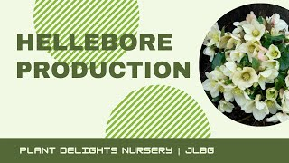Hellebore (Lenten Rose) Production at Plant Delights Nursery