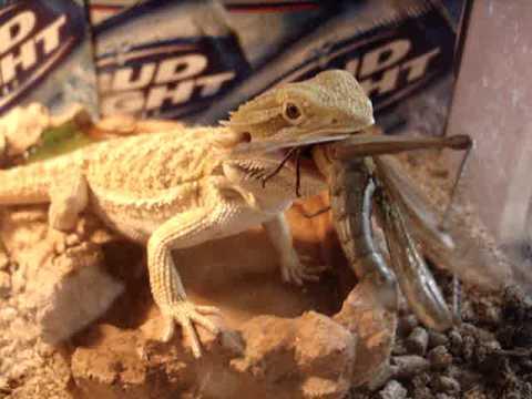 Steven the Bearded Dragon Lizard Eats Giant Grasshopper ...
