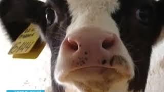 200 литров молока от коровы в сутки - реально