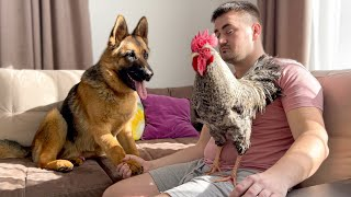 German Shepherd Meets a Rooster for the First Time