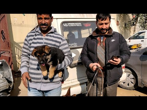 Wholesale Dog Market at Ambala Part-2.. DOGGYZ WORLD