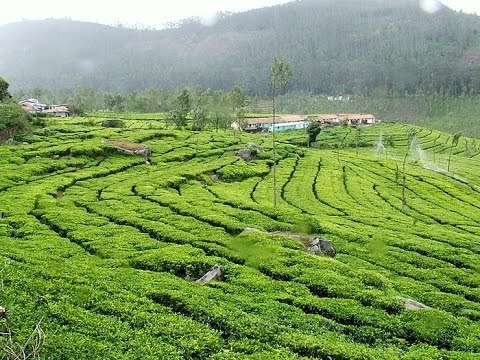 Ooty-Tea Graden-Tourist Place India