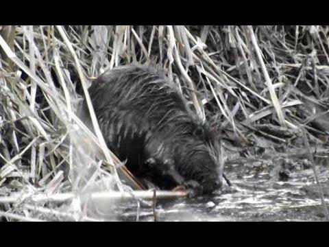 Бобры на реке. Работа бобров. Beavers