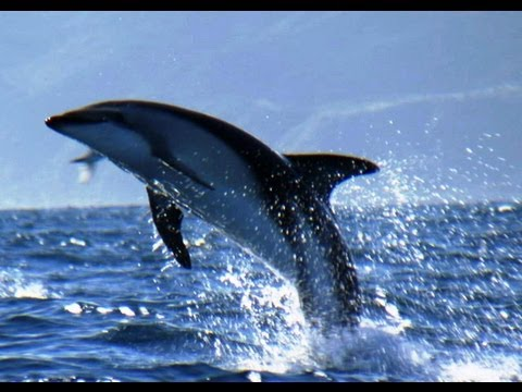 Dusky Dolphins and Bull Sperm Whales | South Pacific | BBC Earth
