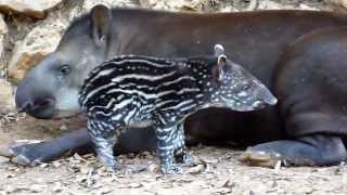 True Facts About The Tapir thumbnail