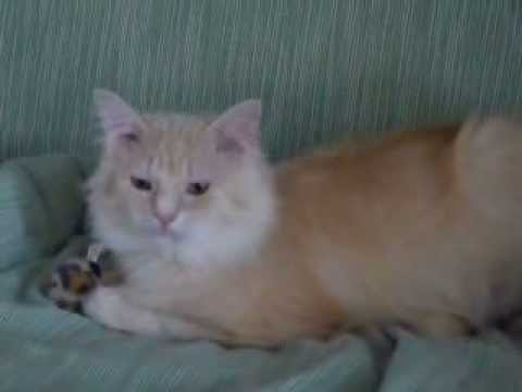 Bud - Buff colored male cat available for adoption in Sault Ste  Marie,  Michigan