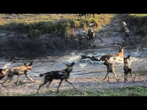 18 Wild dogs vs spotted Hyenas