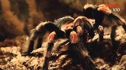 Eläinystävät: Hämähäkit