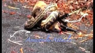 Самое Удивительное Нападения Диких Животных Анаконда Нападает На Корову Гигантская Анаконда Нападени