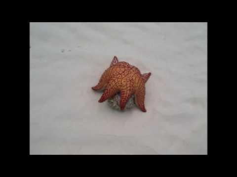 Chac-Choc Starfish y Caracol
