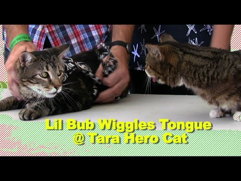 Lil Bub Wiggles her Tongue @ Tara Hero Cat