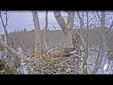LDF Jūras ērglis tiešraide 2 / White-tailed eagle webcam 2 in Latvia