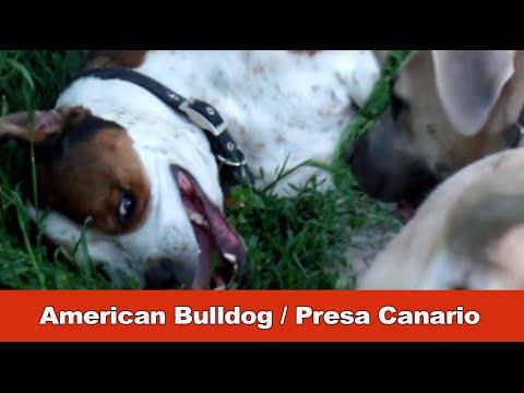 American Bulldog / Presa Canario