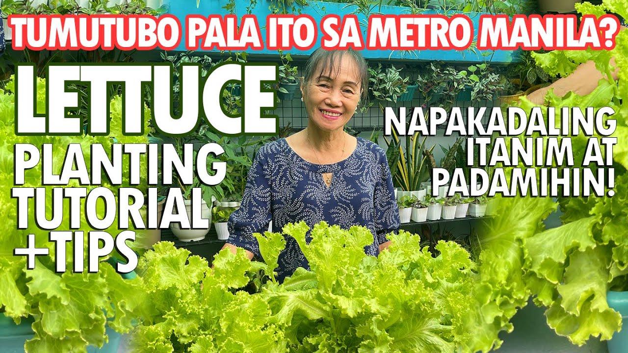 LETTUCE SA METRO MANILA? NAPAKA-DALING ITANIM! (Lettuce Planting Tutorial) | Haydee's Garden
