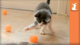 Ridiculous Rescue Kittens Love Ping Pong Balls  Kitten Love