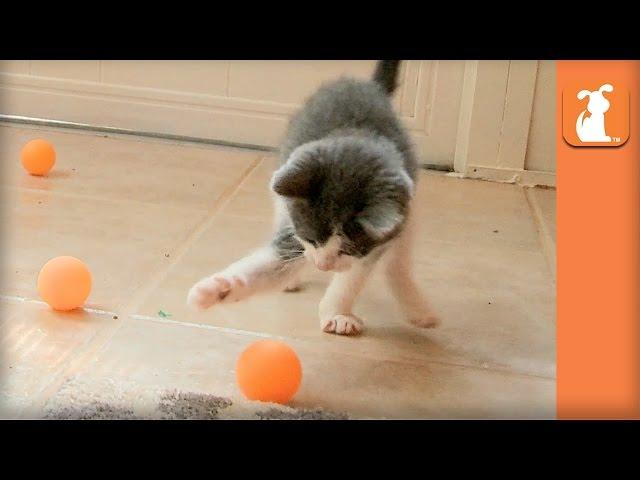 Ridiculous Rescue Kittens Love Ping Pong Balls - Kitten Love