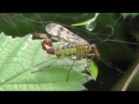 2014-08-29 Skorpionsfliege, Scorpion fly, Panorpa communis, Bodenheim