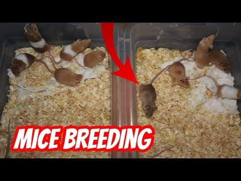 THE START OF MICE BREEDING