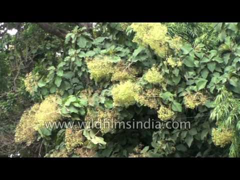 Teak Tree Forest Tectona Grandis In Flower Karnataka