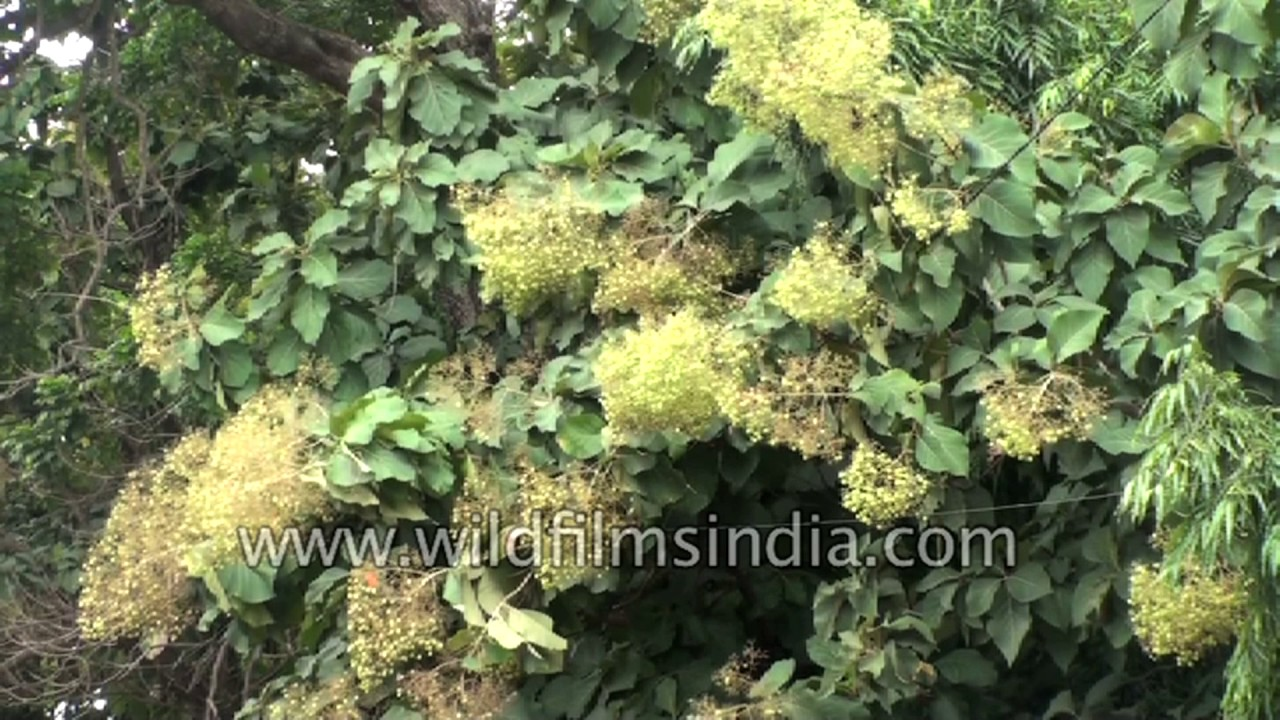 Teak Tree Forest Tectona Grandis In Flower Karnataka South India