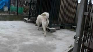 紀州犬こころの普段の姿です・・・。 まったく呼びがききません。( 一一...