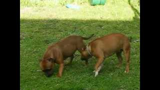 Shayds Staffordshire Bull Terriers  Shayds Julia Roberts & Shayds Lady In Red