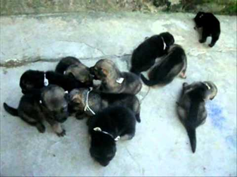 German Shepherd Puppies Iloilo Sale