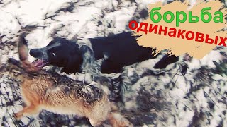 На видео СПАНИЕЛЬ БОРЕТСЯ  с  ЗАЙЦЕМ такого же РОСТА!!Охота на зайца с ТОЗ 34.hare hunting.