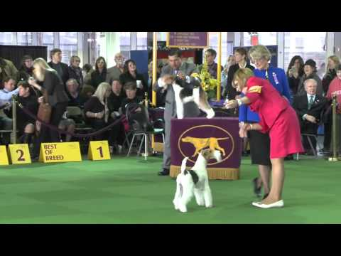 Wire Fox Terrier Westminster Kennel Club Dog Show 2016