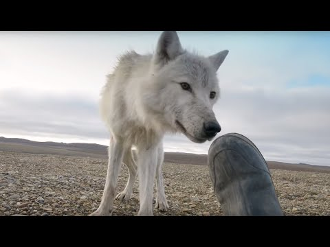 Dangerously Close To Wolves | Snow Wolf Family And Me | BBC