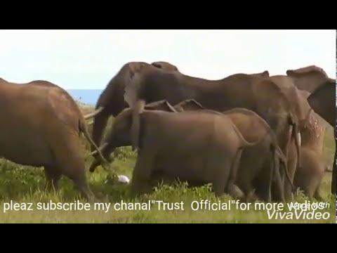 Group Of Elephant Killing The Lion