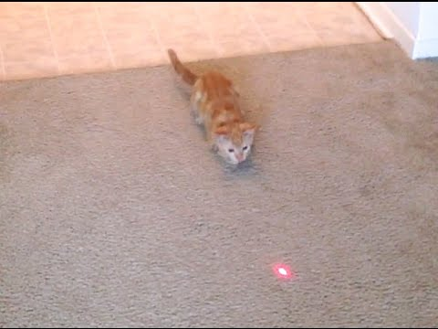 Cute Kitten's Laser Chase Fail (kitten slip/fall)
