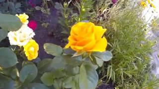 Посадка Роз под Бутылку.Размножение и Уход за Розами Летом.