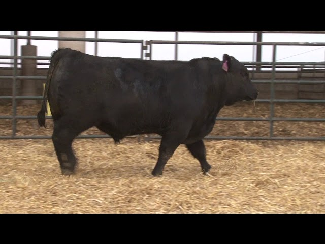 Schiefelbein Angus Farms Lot 62