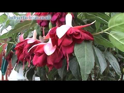 Fascinating Fuchsias
