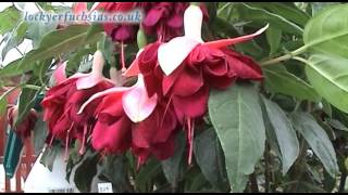 Fascinating Fuchsias