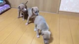 http://life-with-dog.net/kantou/itariangure-haundo_kantou.html ライ...