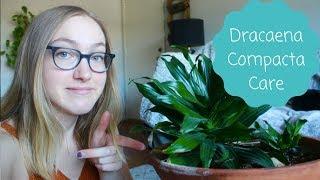 How To Care For A Dracaena Compacta