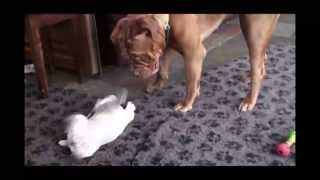 Bulldog Pup Makes Friends With Dogue De Bordeaux**dreamdogues.co.uk**
