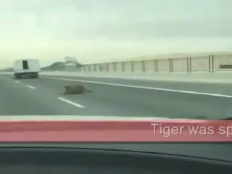 #Tiger initially falling onto the road from a moving truck  of #Doha Expressway