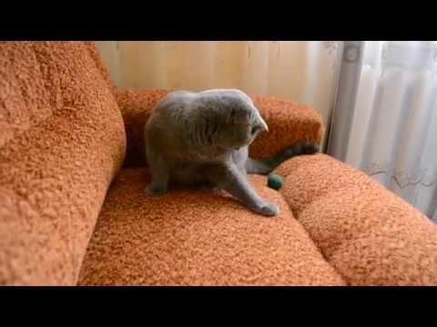 Шотландский вислоухий кот, играется, и носит мячик