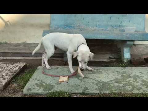 dalmatian-mix-dog-for-adoption---1-year,-happy-from-shah-a..
