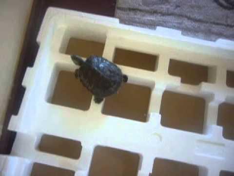 Una tortuga intrepida