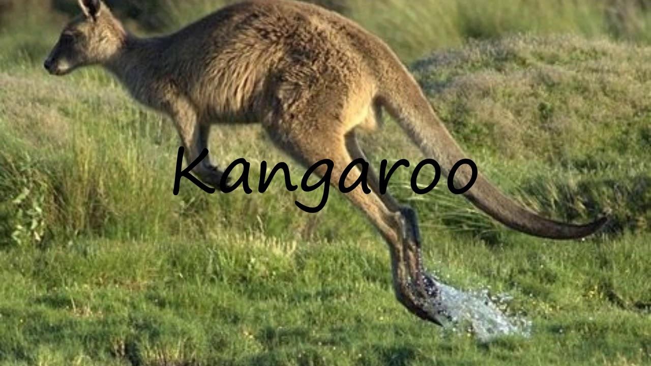 How to Pronounce Kangaroo?