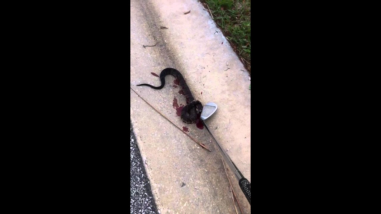 Florida Water Moccasin Bites My Sand Wedge